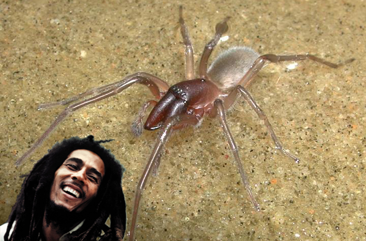 New Species of Aquatic Spider Named After Bob Marley