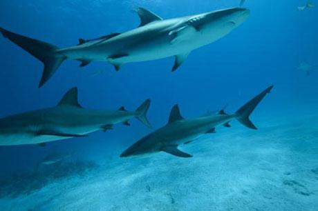 Shark Week: Restless Fury