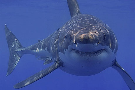 Great White Sharks Calmed by AC/DC, According to Aussie Researcher