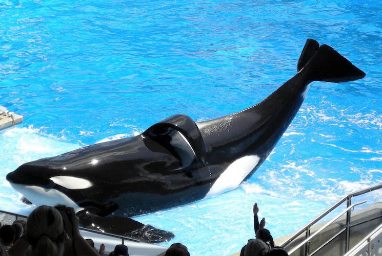 'Blackfish' Whale Tilikum Dead at 36