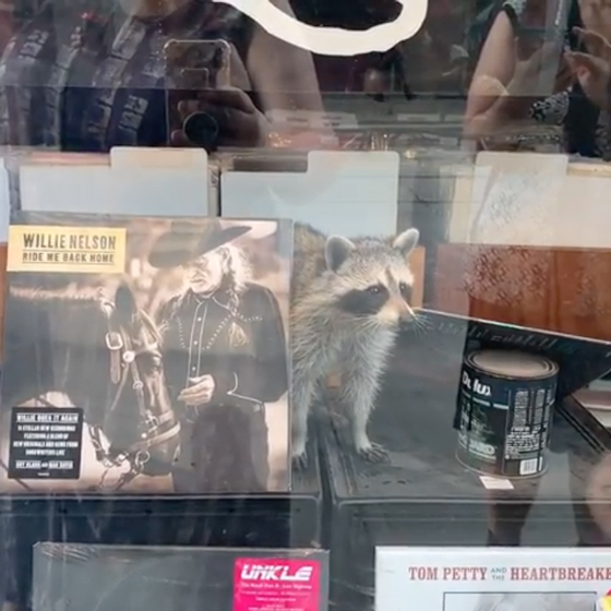 This Toronto Raccoon Wants Your Willie Nelson Records