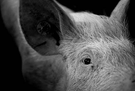 Matthew Herbert's Pig Album Hits Snag When Pig Dies