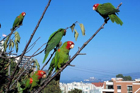 The Wild Parrots of Telegraph Hill Judy Irving
