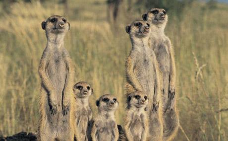 The Meerkats James Honeyborne