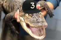 Alligator Named Chance the Snapper Finally Captured in Chicago