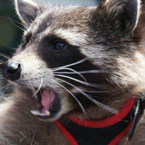 Oreo — the Raccoon That Inspired Rocket from 'Guardians of the Galaxy' — Has Died