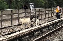 Jon Stewart Helped Rescue Two Goats from New York Subway Tracks